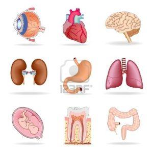 Human-anatomy-organ-diagram